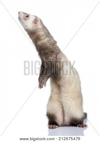 ferret - Mustela putorius furo (1 year old) in front of a white background poster