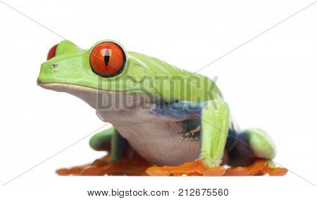 Red-eyed Tree Frog - Agalychnis callidryas in front of a white background