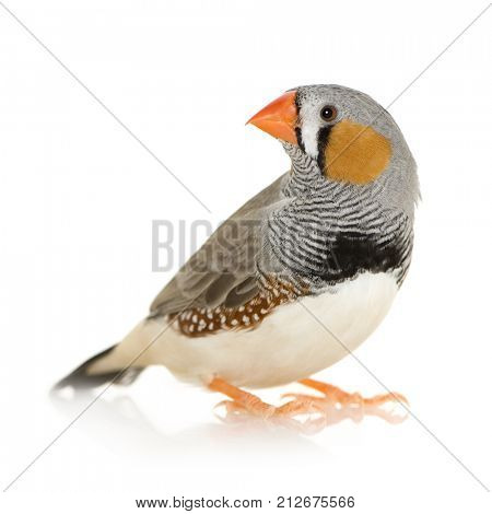 Zebra Finch in front of a white background
