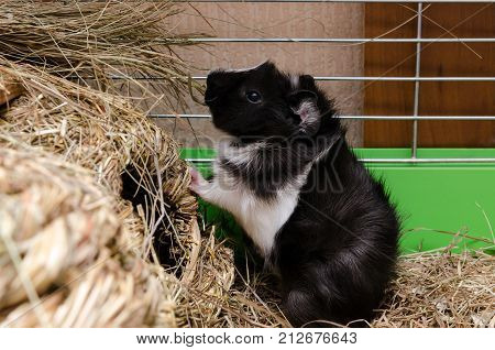 Little black and white guinea pig eating hay.