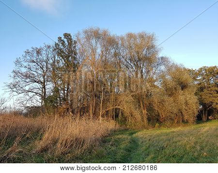 Willows in a riparian forest in the evening light