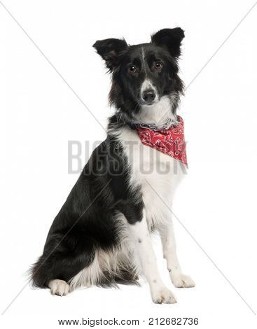 Portrait of Border Collie dog wearing handkerchief in front of white background, studio shot