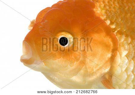 Goldfish - Carassius auratus auratus in front of a white background