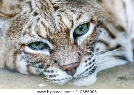 Bobcat (Lynx rufus californicus) head shot resting and looking.