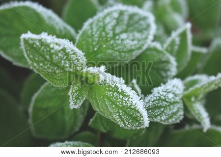 Green peppermint leaves covered with first hoar frost
