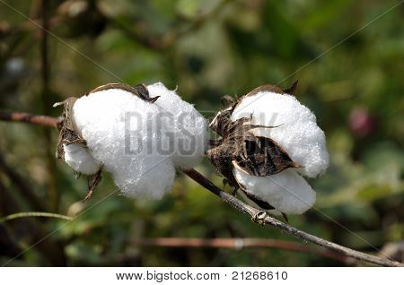 Cotton Plant Outdoor Farm Thailand
