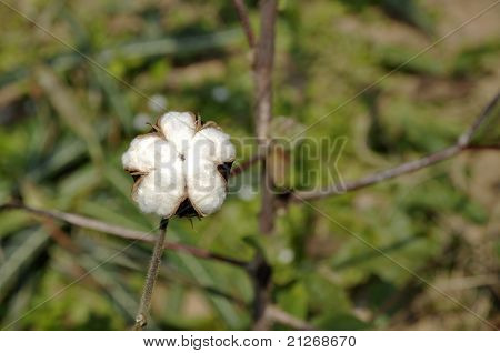 Cotton Thailand Plant Outdoor Farm