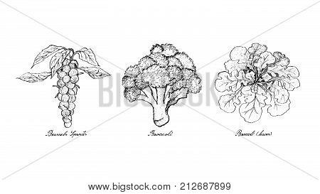 Vegetable Salad, Illustration of Hand Drawn Sketch Delicious Fresh Green Brussels, Sprouts Broccoli and Broccoli Isolated on White Background.