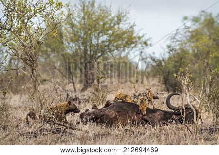 Black-backed jackal and spotted hyena in Kruger national park, South Africa ; Specie Crocuta crocuta family of Hyaenidae