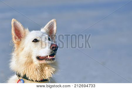 A portrait showing the face of a happy white shepherd dog in the sunlight which looks up to its owner  friend. The picture is fresh (light and clear) and detailed and shows the hairs, ears and the eyes of the  dog very sharply. It almost looks as if the d