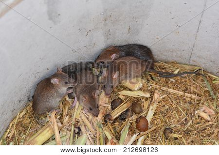 Group Of Rats And Food In Cement Tube At Farm,the New Business In Thailand