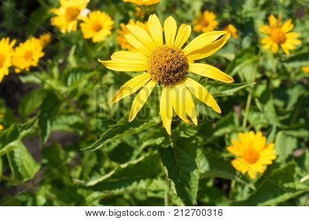 Yellow Ray Florets And Brownish Disc Florets Of False Sunflower