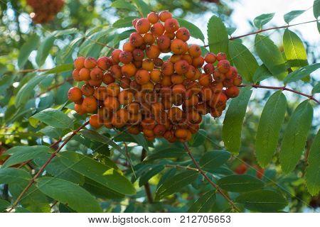 Corymb Of Orange Pomes Of Rowan In July
