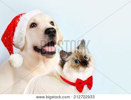 Cat And Dog Together, Neva Masquerade Kitten, Golden Retriever Looks At Right. Puppy With Christmas