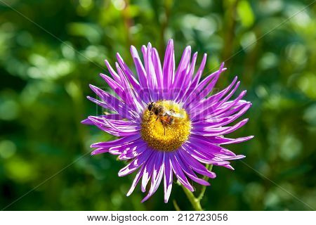 Bees store honey dew from pink chrysanthemum flower in garden. Bee on flower collecting nectar. Honey bee on Purple aster