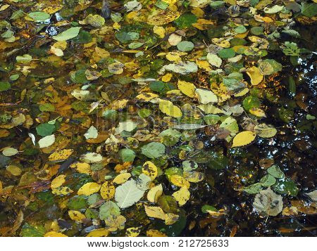 The Yellow Autumn Foliage Flew From The Tree And Lies On The Surface Of Water, Autumn Came.