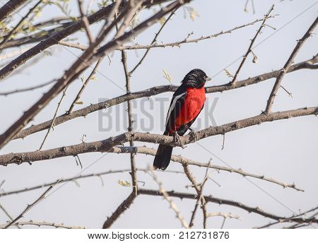 Crimson-breasted shrike resting on a twig of a tree at evening time in Namibia Africa