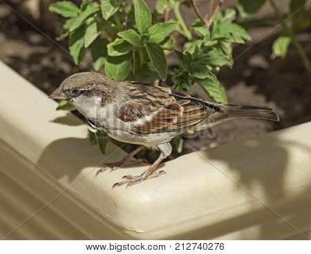 Common house sparrow passer domesticus perched on edge of plant pot in garden