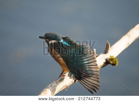 Colorful male Kingfisher bird, also called Alcedo atthis, spreads his wings sitting on a branch
