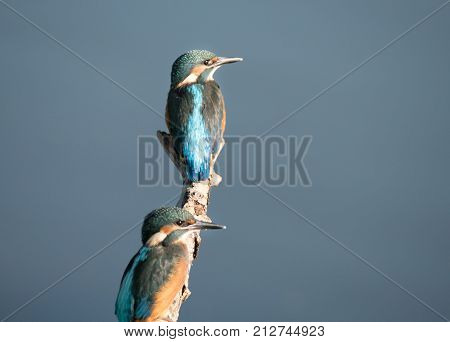 Colorful male Kingfisher bird, also called Alcedo atthis, sits on a branch