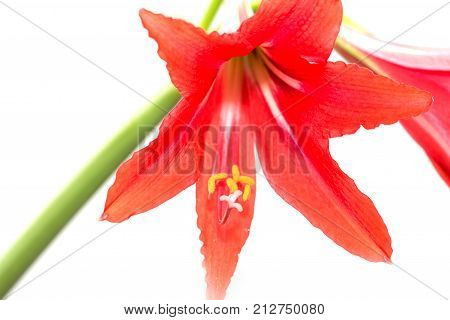 Red Amaryllis flower on white background . Photos in the studio