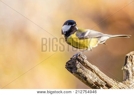 One Colorful Great-tit Songbird Perched On Dry Twig