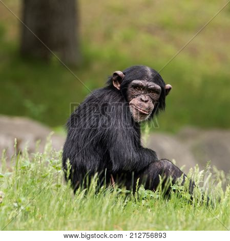 Frontal Portrait of a Young Female Chimpanzee Sitting in the Grass