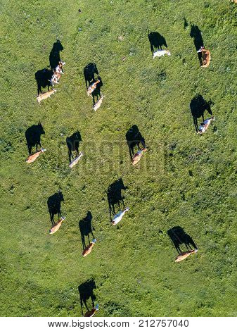 Aerial view of a cows herd in meadow