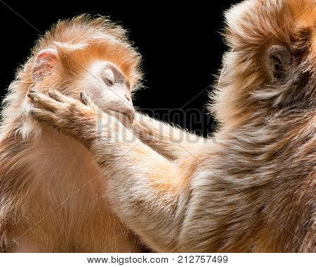 Ebony Langurs Grooming Each Other Against a Black Background