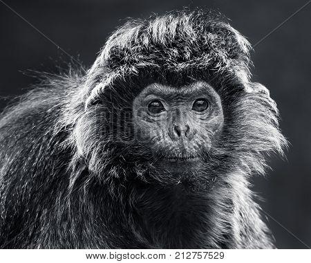 Frontal Portrait of an Ebony Langur Against Dark Background