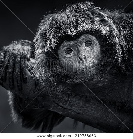 Frontal Portrait of an Ebony Langur Resting on a Branch