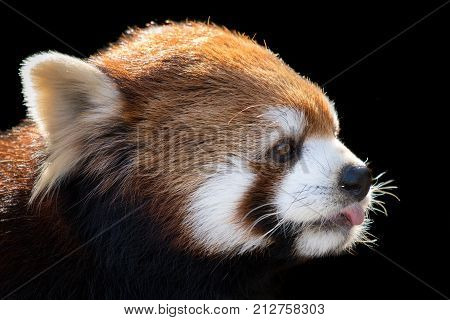 Profile Portrait of a Red Panda Against a Black Background