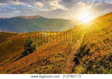 path though mountain hills and ridge at sunset. beautiful scenery with spruce tree on a in fine weather on late summer day