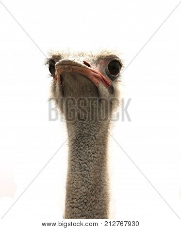 ostrich head isolated on white back,  flightless bird3