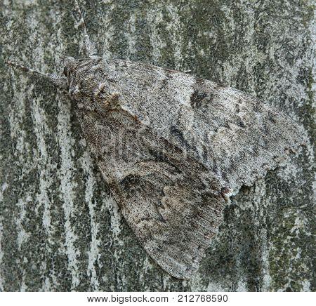 Close up of an underwing moth (genus Catocala).