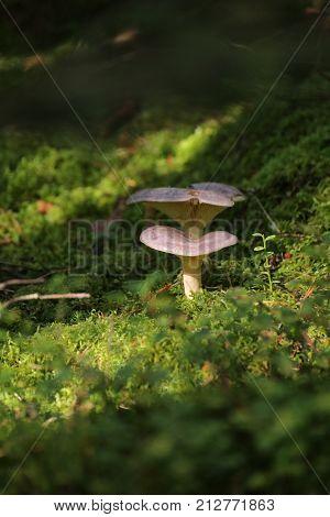 Lactarius Trivialis, A Mushroom Of The Milk-cap Genus