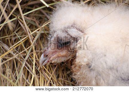 Portrait of a western barn owl fledgling (Tyto alba).