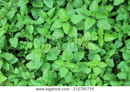 Bed of fresh sweet mint, Mentha of the family Lamiaceae (mint family).