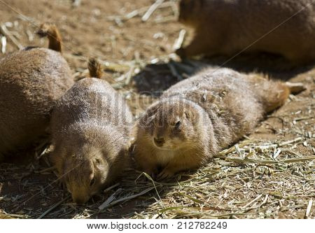 A coterie of Prairie Dogs laying and eating in the sun.