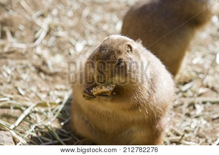 A stout and pudgy Prairie Dog sitting up and eating in the sun.