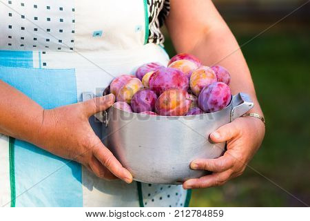 Gardening. Woman with organic plums garden. Harvest. Young farmer harvesting plum. plum in a vintage bowl