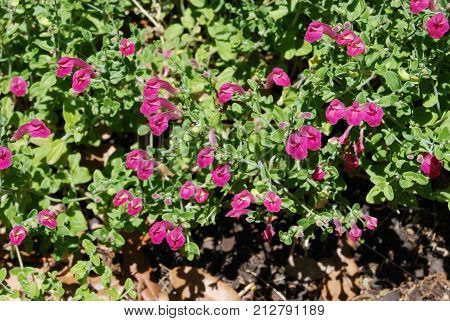 Mexican heather (Cuphea hyssopifolia) used a decorative planting.