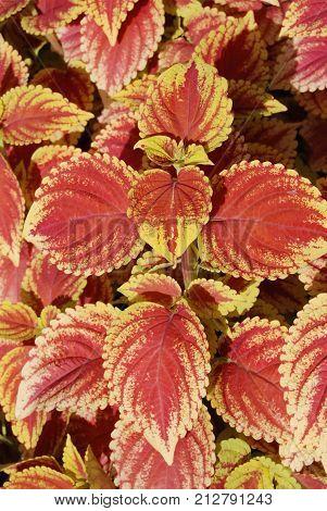 Red Coleus. Coleus are grown as ornamental plants.
