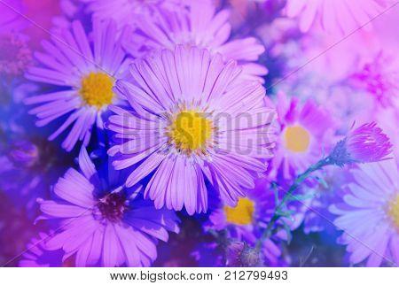 Beautiful Pink Aster Flower. Autumn Flowers In The Garden