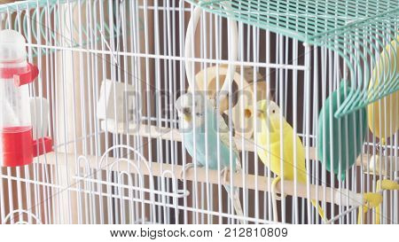 Awaiting Freedom - A Caged Yellow Beautiful Australian Parrot. Big Colorful Parrot In The White Cage