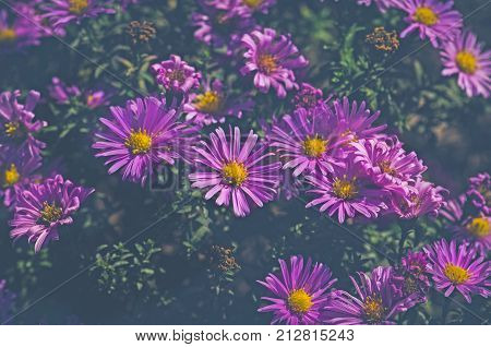 Bushes Blooming Aster Amellus