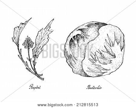 Hand Drawn Sketch Delicious Fresh Green Rapini and Radicchio Plants Isolated on White Background.