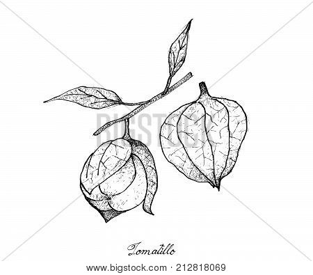 Fresh Fruit, Illustration of Hand Drawn Sketch Delicious Fresh Tomatillo, Physalis Philadelphica or Mexican Husk Tomato Fruits.