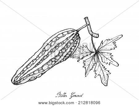 Hand Drawn Sketch Delicious Fresh Balsam Pear, Balsam Apple, Bitter Gourd and Bitter Melon Isolated on White Background