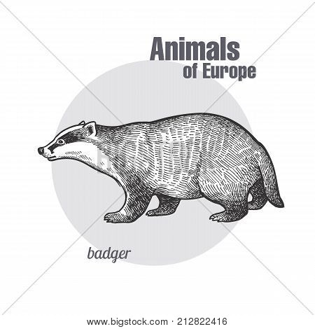 Badger or brock hand drawing. Animals of Europe series. Vintage engraving style. Vector art illustration. Black graphic isolate on white background. The object of naturalistic sketch. Object wildlife